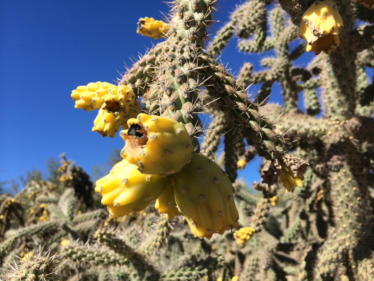 Yellow Fruit From Staghorn Cholla (Photo by Yvonne Condes)