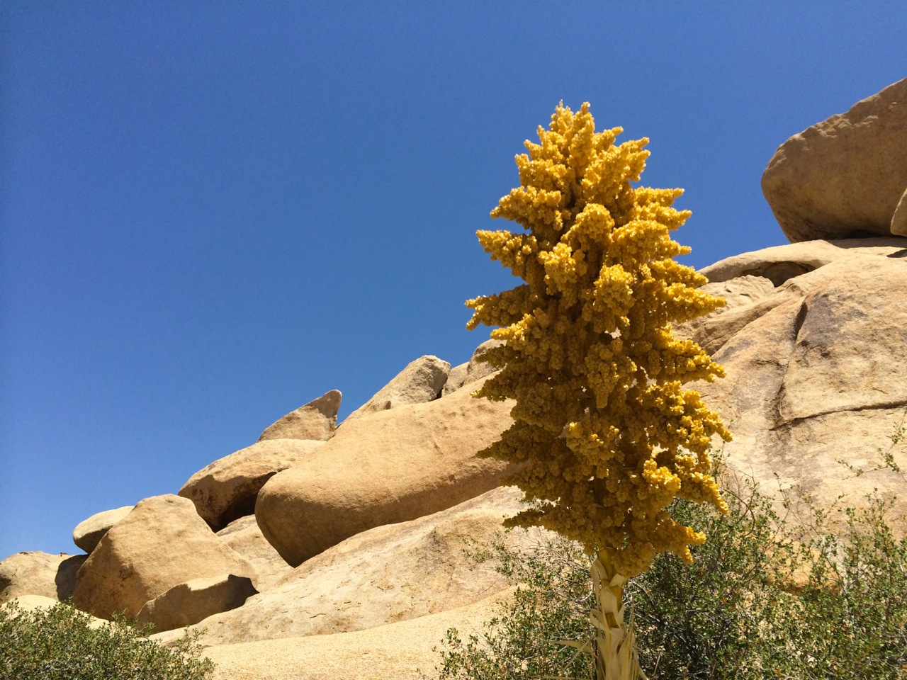 Flowering-Mohave-Yucca-Photo-by-Yvonne-Condes