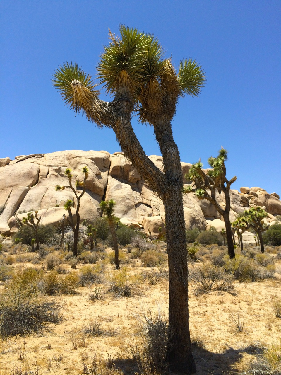 Joshua-tree-photo-by-yvonne-condes
