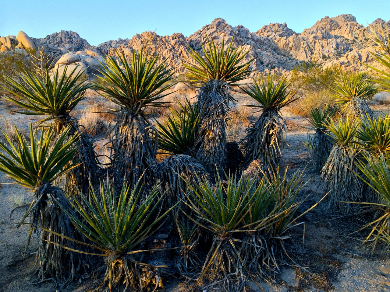 Plants-joshua-tree-Flowering-Mohave-Yucca-Photo-by-Yvonne-Condes